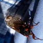 cicada http://pestcemetery.com/