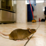 mysterious mouse of St.Agnes http://pestcemetery.com/