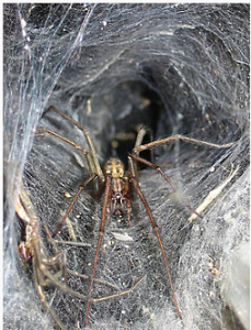 Giant house spider http://pestcemetery.com/