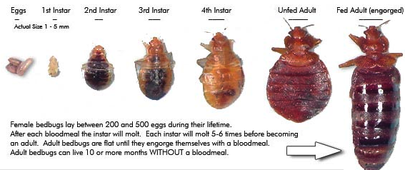 What Do Bed Bugs Look Like Pest Cemetery